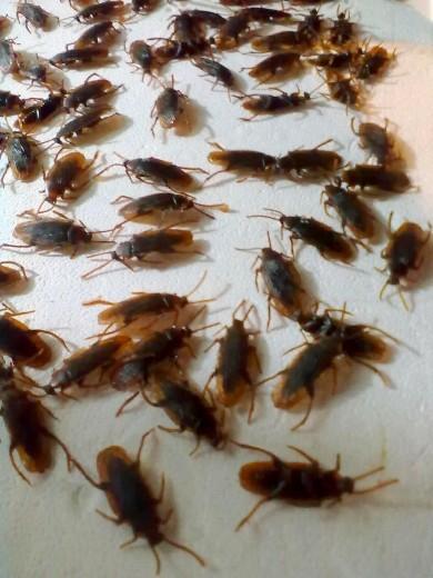 3 metodi sicuri per la disinfestazione di blatte e scarafaggi - Eliminare formiche in casa ...