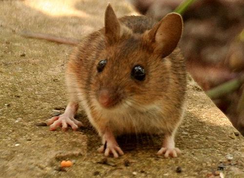 Come allontanare i topi senza ucciderli - GreenMe.it