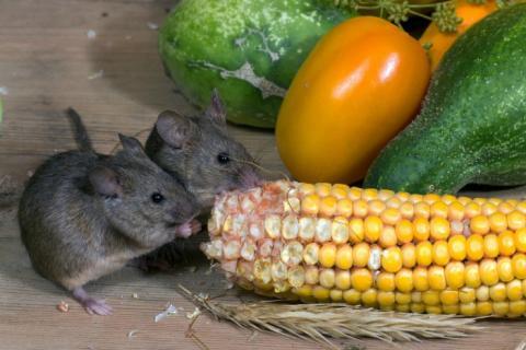 Come catturare topo casa trappole esche - Come catturare un topo in casa ...